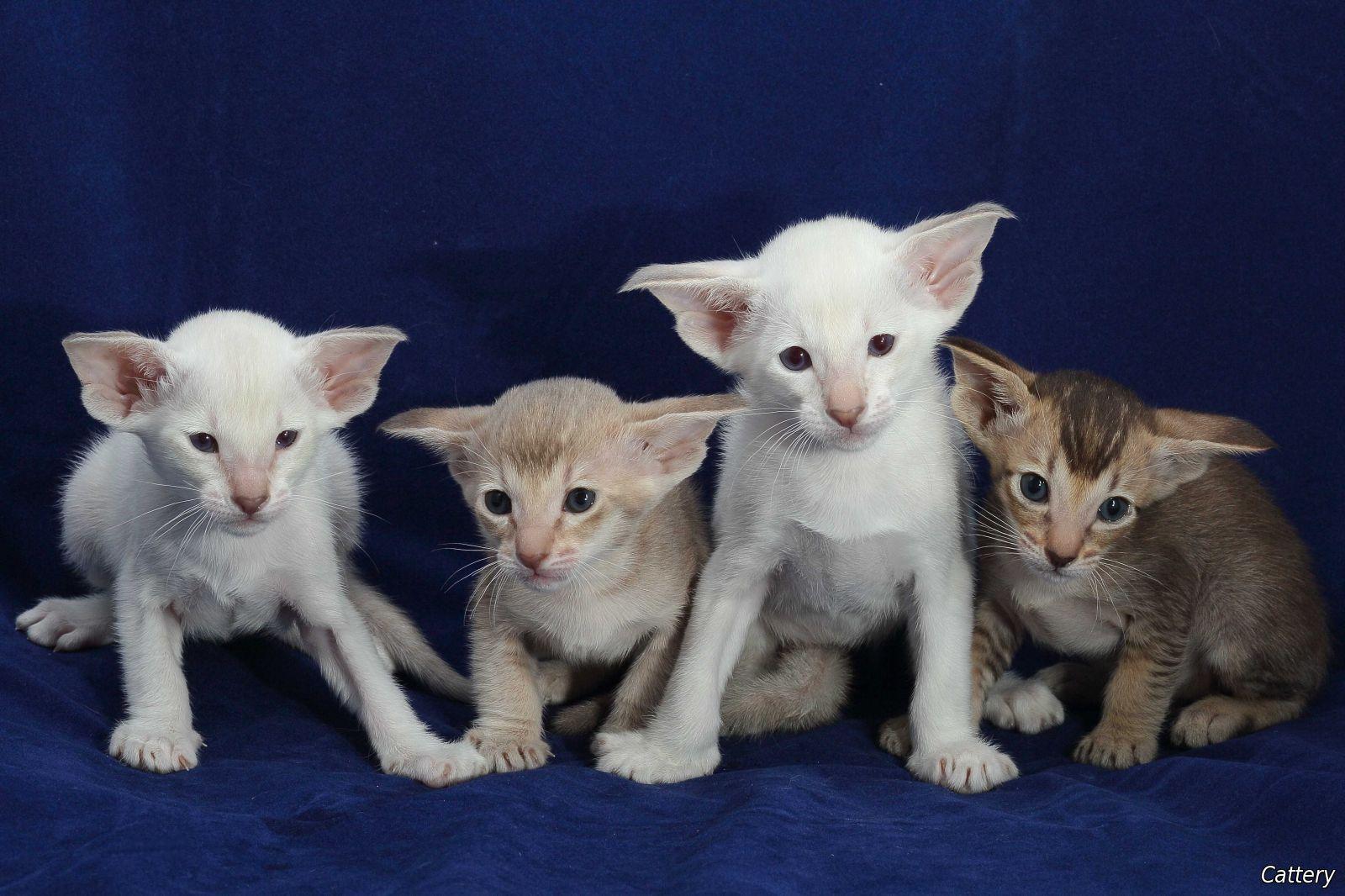Scottish Fold Cat For Sale Ph