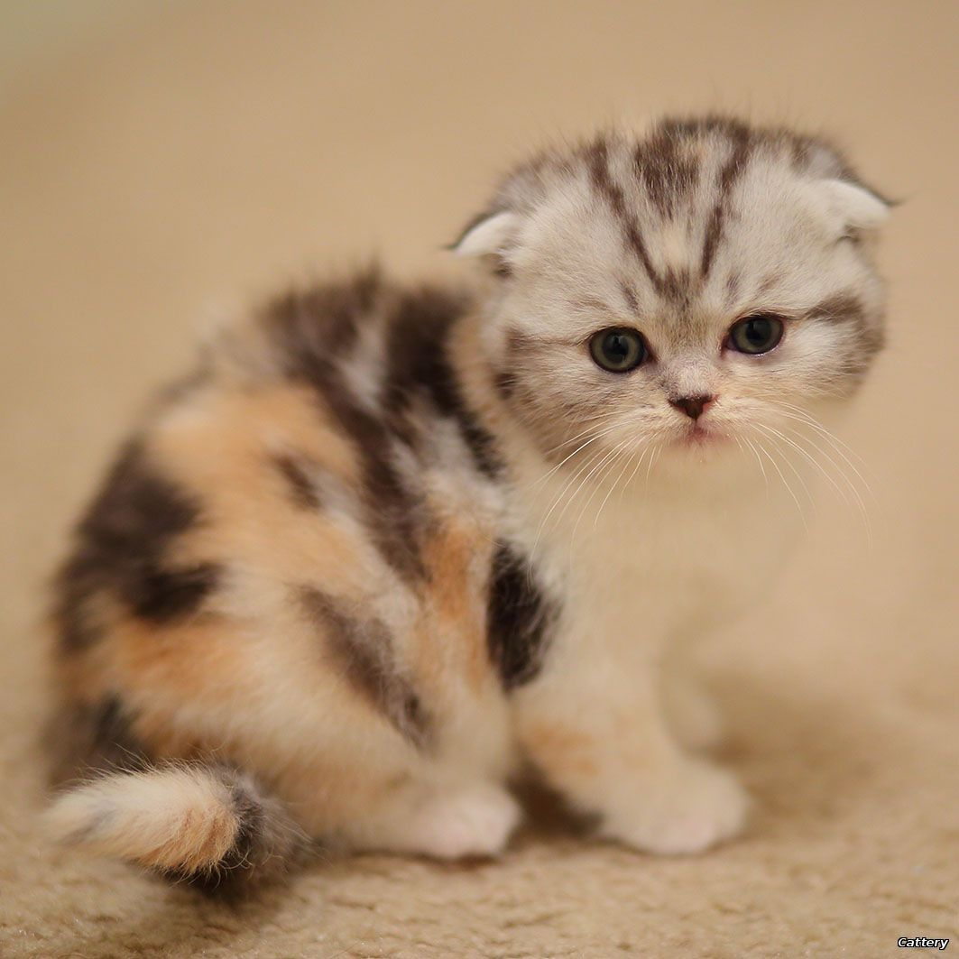 Cattery Scottish-Fold Siamese Oriental kittens for sale