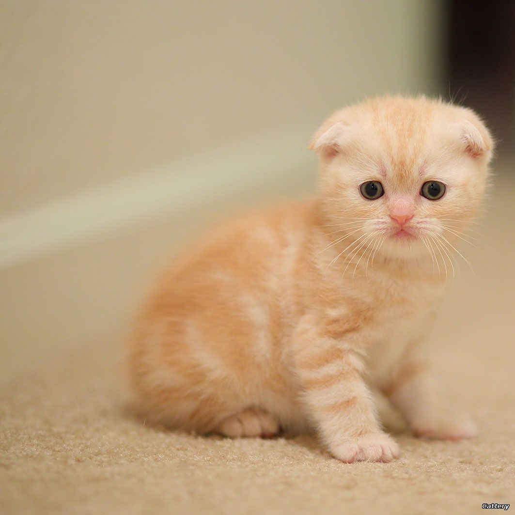 Scottish-Fold male red-silver tabby - kittens for sale